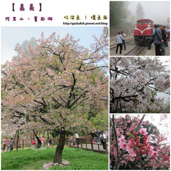 【旅】嘉義 ♬ 奮起湖霧濛濛、阿里山賞櫻